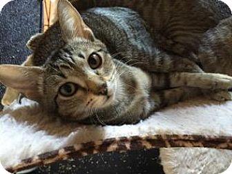 Domestic Shorthair Kitten for adoption in Bulverde, Texas - Pixie 2
