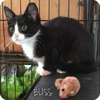 Domestic Mediumhair Kitten for adoption in Great Neck, New York - Bliss