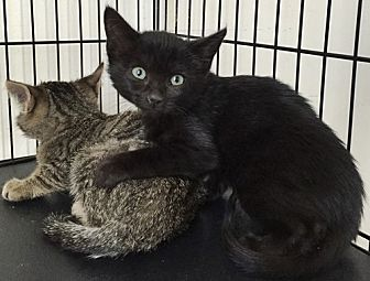 Domestic Shorthair Cat for adoption in Santa Fe, New Mexico - Damaris
