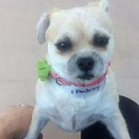Border Terrier Mix Dog for adoption in Alta Loma, California - Audrey