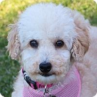 Adopt A Pet :: Bambi - La Costa, CA