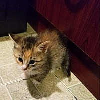 Adopt A Pet :: Fawn - Whitestone, NY