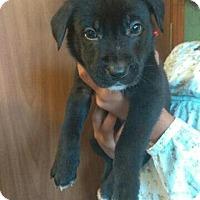 Adopt A Pet :: Victor - New York, NY