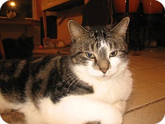 Domestic Shorthair Cat for adoption in Portland, Maine - Maxim