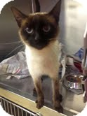Siamese Cat for adoption in Staunton, Virginia - Sassafras