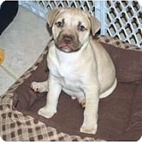 Adopt A Pet :: Chase - Minneola, FL