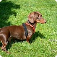 Adopt A Pet :: Charlie - Louisville, CO