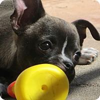 Adopt A Pet :: Licorice - La Habra Heights, CA