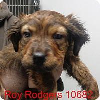 Adopt A Pet :: Roy Rogers - Greencastle, NC