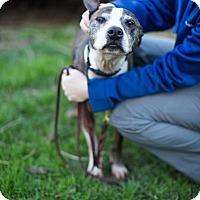Adopt A Pet :: Clipper - Reisterstown, MD