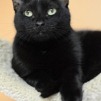 Domestic Shorthair Cat for adoption in Atlanta, Georgia - Zuzu 10039