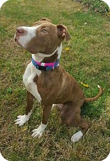 Pit Bull Terrier Mix Dog for adoption in Dayton, Ohio - Hadley