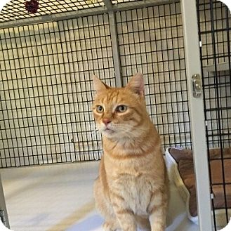 Domestic Shorthair Cat for adoption in Victor, New York - Oscar