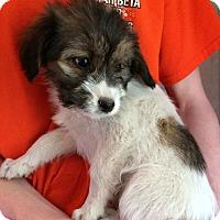 Adopt A Pet :: Phoebe - SOUTHINGTON, CT