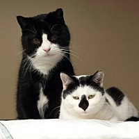 Domestic Shorthair Cat for adoption in Lancaster, Pennsylvania - Patches