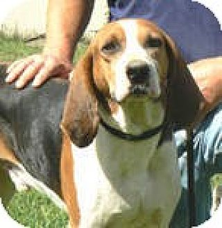 Treeing Walker Coonhound Mix Dog for adoption in Centerville, Tennessee - Tommy
