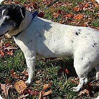 Adopt A Pet :: Cypher - Carmel, IN