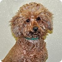Adopt A Pet :: Melody - Port Washington, NY