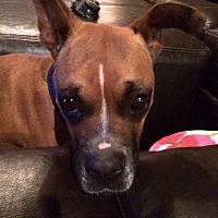 Boxer Dog for adoption in Austin, Texas - Acai
