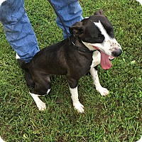 Adopt A Pet :: Molly-ADOPTION FEE ONLY $10 - Loogootee, IN