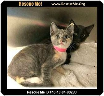 Calico Kitten for adoption in Waldorf, Maryland - Tilly