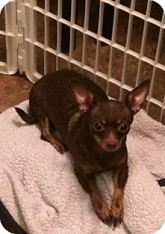 Chihuahua/Dachshund Mix Dog for adoption in Mesa, Arizona - Selena