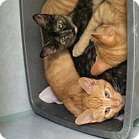 Domestic Shorthair Cat for adoption in Manteo, North Carolina - Scar