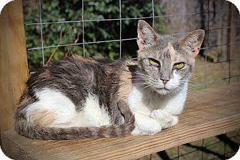 Calico Cat for adoption in San Antonio, Texas - Cocoa