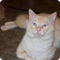 Ragdoll Cat for adoption in Hammond, Louisiana - Blaze