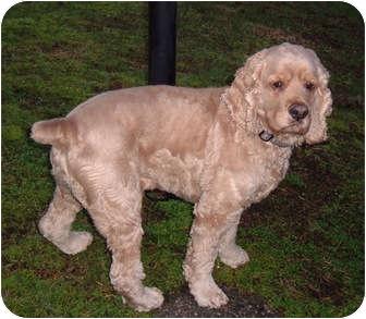 Cocker Spaniel Dog for adoption in Tacoma, Washington - Charlie