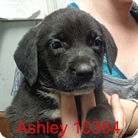 Adopt A Pet :: Ashley - baltimore, MD
