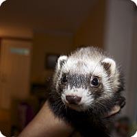 Adopt A Pet :: Molly - Chantilly, VA