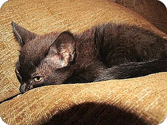 Domestic Shorthair Cat for adoption in Ocala, Florida - Ohno