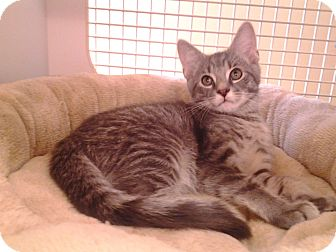 Domestic Shorthair Kitten for adoption in Richmond, Virginia - Drizzly