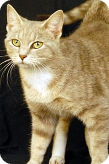 Domestic Shorthair Cat for adoption in Newland, North Carolina - Monique