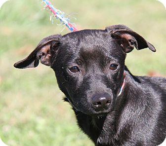 Terrier (Unknown Type, Small) Mix Dog for adoption in Marietta, Ohio - Jonas