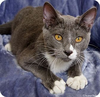Domestic Shorthair Cat for adoption in St Louis, Missouri - Hyperion