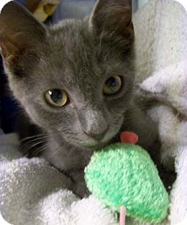 Russian Blue Kitten for adoption in Merrifield, Virginia - Wrangler