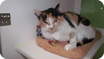 Domestic Shorthair Cat for adoption in Muskegon, Michigan - caley
