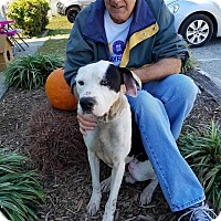 Boxer Mix Dog for adoption in Summerville, South Carolina - Tank