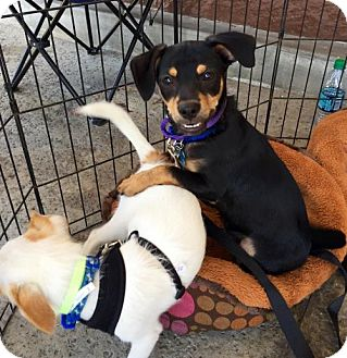 Beagle/Chihuahua Mix Puppy for adoption in Sun Valley, California - TOBY