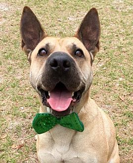 Shepherd (Unknown Type)/Shar Pei Mix Dog for adoption in Umatilla, Florida - Beethoven