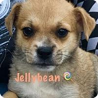 Adopt A Pet :: Jellybean - Boca Raton, FL