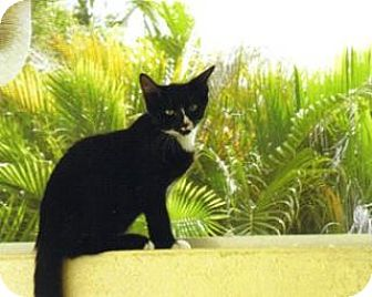 Domestic Shorthair Cat for adoption in St. James City, Florida - Duncan