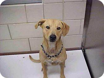 Basenji/Labrador Retriever Mix Dog for adoption in Bedford, Texas - Bridgette