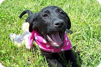 Labrador Retriever Puppy for adoption in Glastonbury, Connecticut - GINGER