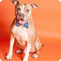 Adopt A Pet :: Bradley - Hollywood, FL