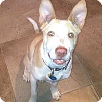 Adopt A Pet :: Muffin - Irving, TX