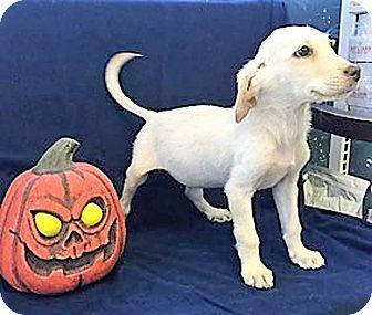 Golden Retriever/Great Pyrenees Mix Puppy for adoption in BIRMINGHAM, Alabama - Pumpkin