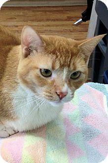 Domestic Shorthair Cat for adoption in Manchester, Missouri - Kiara